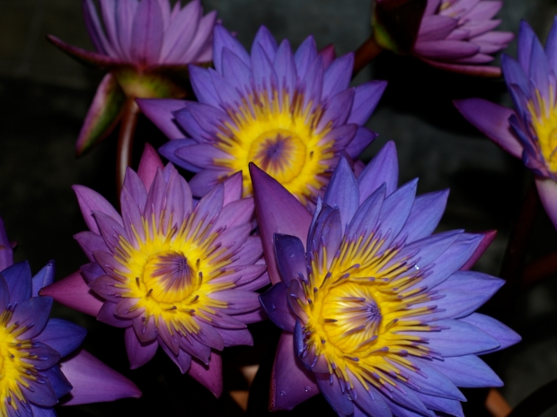 2014-01-13-lotus-barbara.jpg